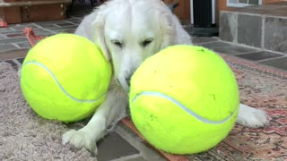 Happy Golden Playing with Her Giant Tennis Balls