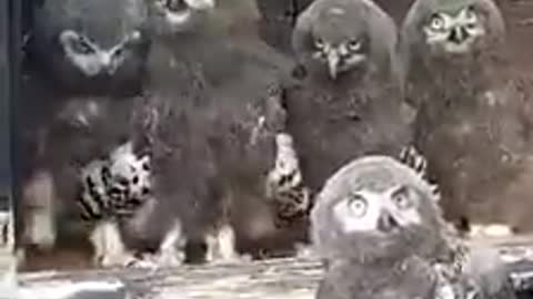 Baby owls happy when see me
