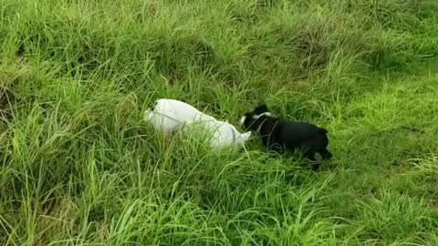 French Bulldogs hop around in tall grass like rabbits