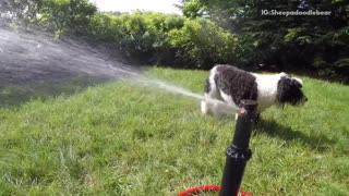 Black white dog tries to bite sprinklers in backyard  - Video