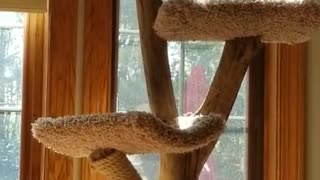 Sasha is so thrilled we brought his Cat tree inside from the gazebo!
