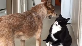 Black and white cat attacks brown dog - Video