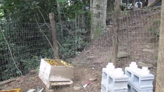 Honey Bees Attack Bee Keeper