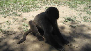 Baby baboon playing in the sand