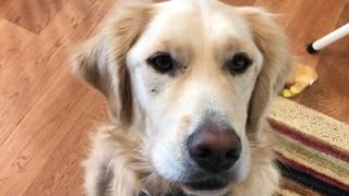 Golden dog being told to speak barks  - Video