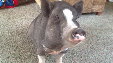 Lola the mini pig works on her table manners