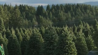 Christmas Tree Helicopter Harvest - Video