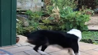 Excited Border Collie Spins for Fish Feeding