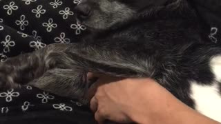 Black dog sticks tongue out while getting stomach and head pet on couch  - Video