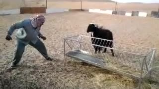 Goats in saudi arabia  - Video