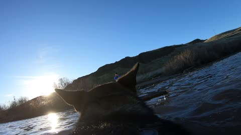 GoPro on dog captures her fetching stick in river