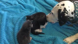 Louie the Dalmatian preciously watches over kittens - Video