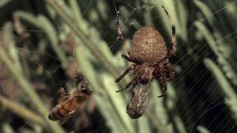 Bee caught in spider's web makes heroic escape
