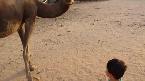 friendship of a Baby Boy and a Camel