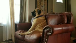 English Mastiff deeply contemplates nap time - Video