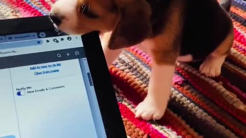 Curious puppy decides to see what laptop screen tastes like