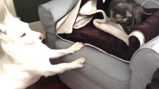 Overly Excited Pooch Irritates Sleepy Kitty, Forcing Play Time