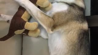 Grey dog cuddling with brown stuffed dog - Video