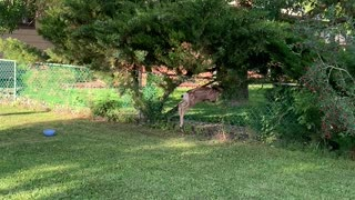 A Lost Fawn Struggles to Find Gate Opening
