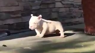 Pitbul, i want this baby - Video