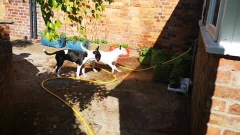 Watering the plants, Helping out in the garden, Bullterriers are always keen to help