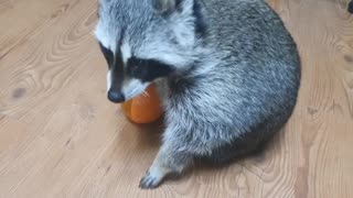 Raccoon to bring a bowl when hungry