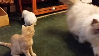 Bunny plays with a bunch of cats - Video