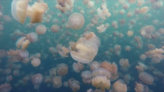 Diver Films His Surreal Swim With Millions Of Jellyfish - Video