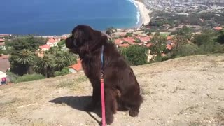 Newfoundland puppy awestruck at breathtaking view - Video