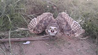 Owl Protects Nest, Gives Epic Stink Eye - Video