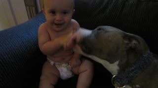 Pit bull gives adorable baby a laugh attack - Video