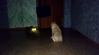 The dog is afraid to leave the room because of an angry cat  - Video