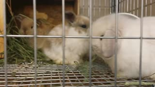 Adorable baby bunnies eat some hay - Video