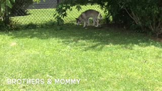 Siberian Husky Family Reunion: Brother Malakai's Visit  - Video