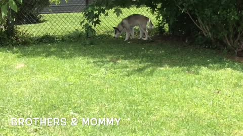 Siberian Husky Family Reunion: Brother Malakai's Visit