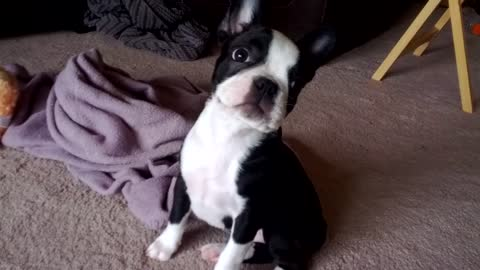 Boston Terrier puppy scared after 'breaking wind'