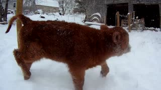 Playful Calf Gets Ecstatic Over Very First Snow Experience