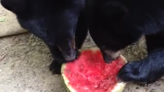Black Bear Cubs Like Watermelon! - Video