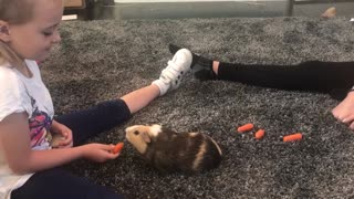 Sweet guinea pig demands to be hand-fed - Video