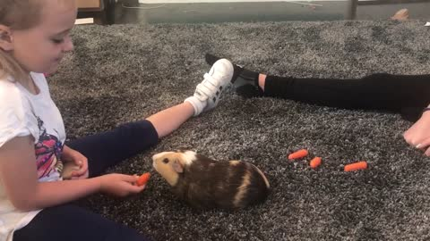 Sweet guinea pig demands to be hand-fed