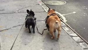 Puppy takes English Bulldog for a walk! - Video