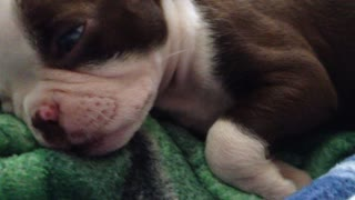 Precious puppy sleeps with his eye's open