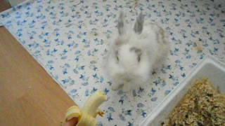 Bunny eating a banana - Video