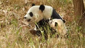 Caring mother panda snuggles with her cub - Video