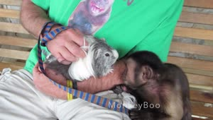 Monkey meets guinea pig for first time - Video