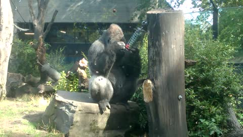 Gorilla Trying to Get Fruit out of Feeder