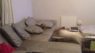 Chihuahua and Jack Russell race around the house - Video