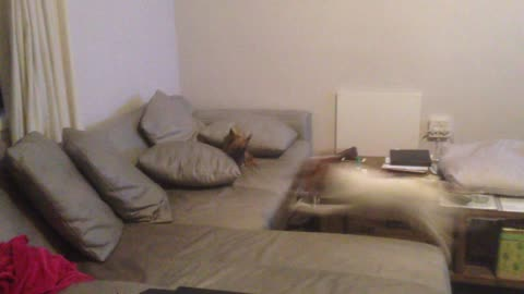Chihuahua and Jack Russell race around the house