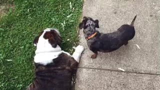 Bulldog gets served by mini Dachshund - Video
