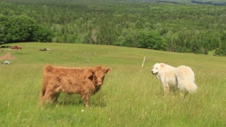 Calf and dog run away in perfectly synchronized departure